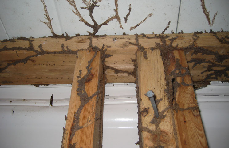 termite infestation has been identified, it can be difficult to determine how long the colony has been established in the home.